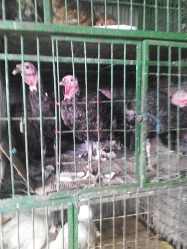 piscos pareja y gallinetas