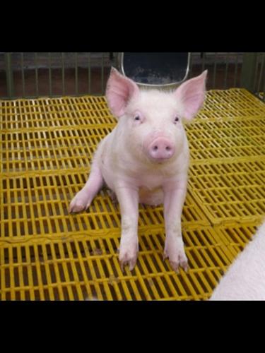 pisos plasticos rejillas cochineras cerdos,ovinos 30x40cm