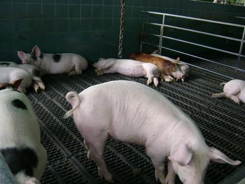 pisos porcinos  pisos plasticos para cerdos, lechon y madres