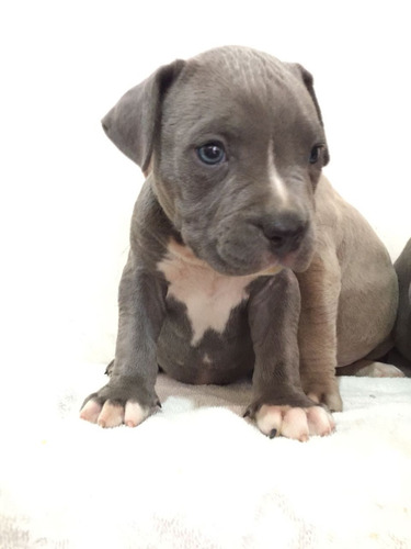 pit bull blue cachorros