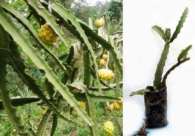 Pitahaya Amarilla Pitaya Planta Fruta De Dragon Ecuador