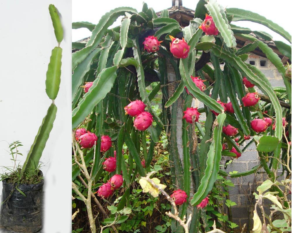 4066241ade290 Pitahaya Pitaya Planta Fruta De Dragon Roja Cultivo - U S 12