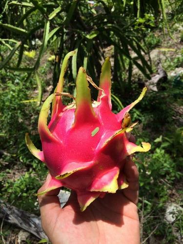 pitaya pitahaya dragonfruit por tonelada y con envio