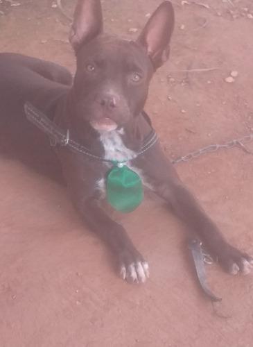 pitbull 7 meses