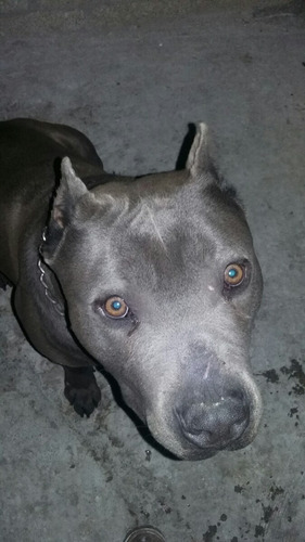 pitbull american blue gris,para monta(original)cemental