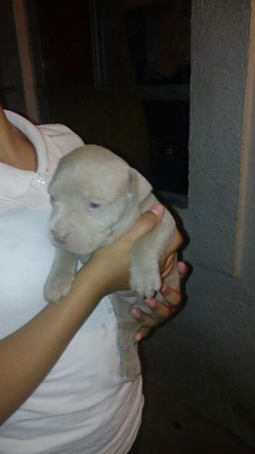 pitbull american bully blue xl
