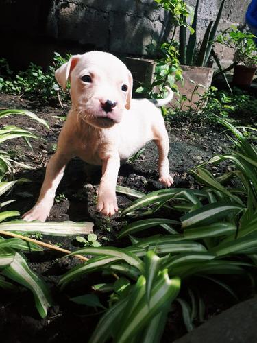 pitbull américano con boxer negociable