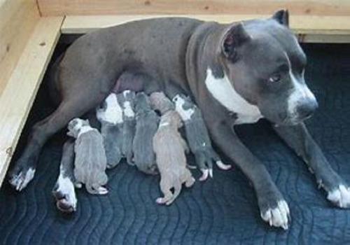 pitbull blue cachorros hemosos