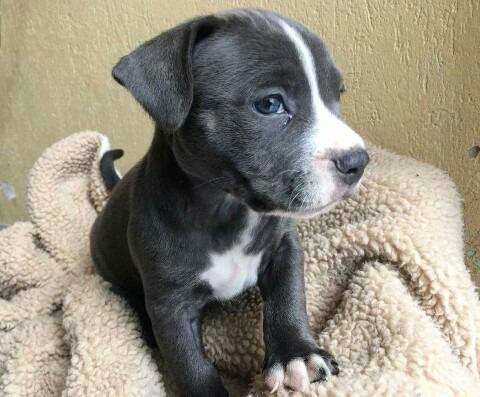 pitbull blue cachorros, únicos garantizados