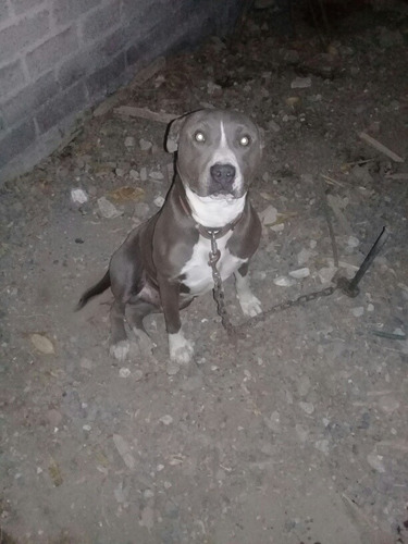 pitbull blue macho