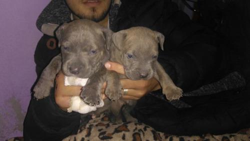 pitbull blue macho( el reino de zeus