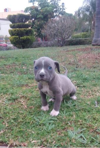 pitbull blue super calidad  vip  pitblue