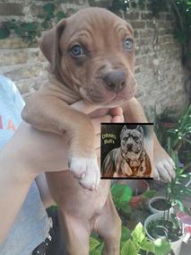 Hermosa Pitbull Silver Fawn !! Unicaaaaa - Perros de Raza en