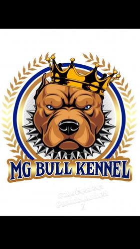 pitbull com pedigree linhagem top