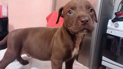 pitbull hermosos