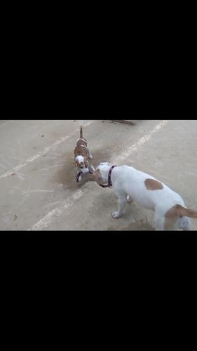 pitbull terrier americano