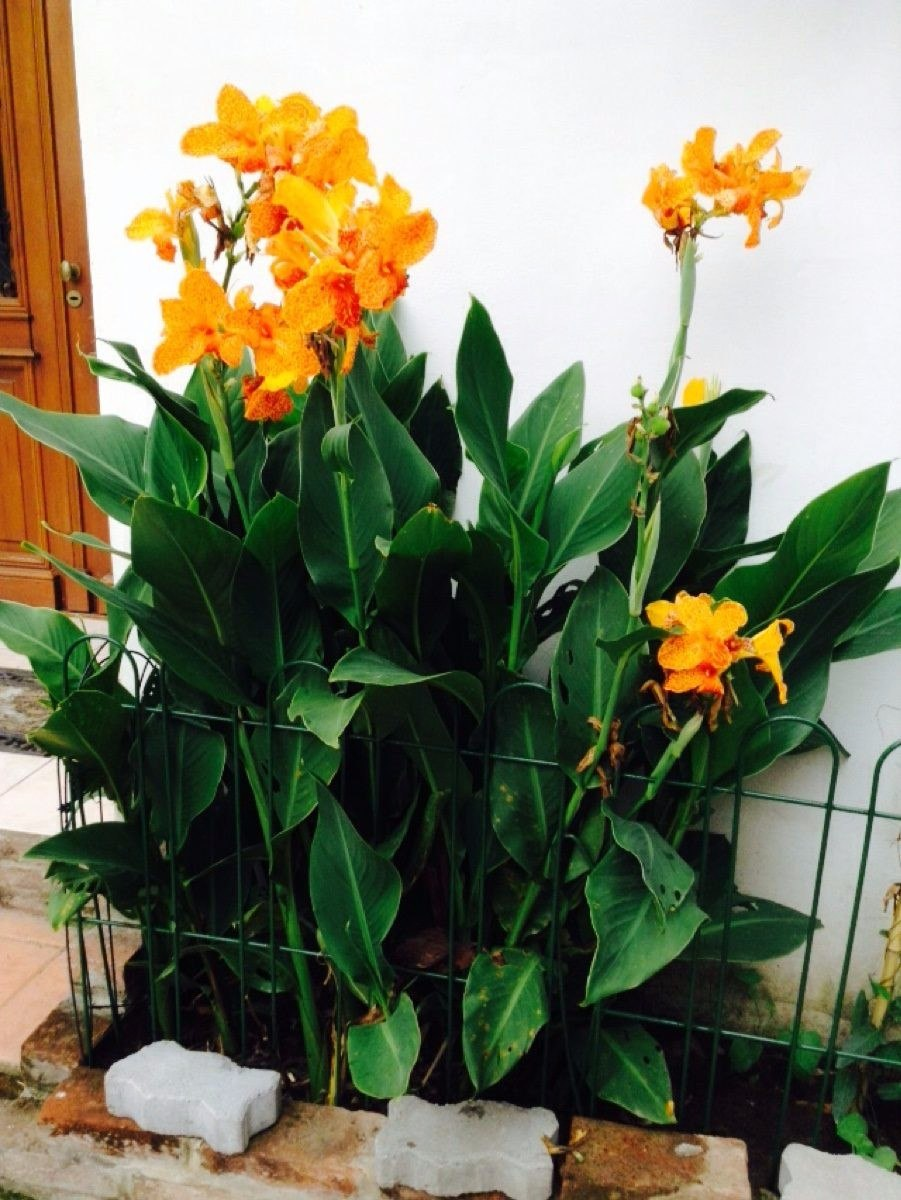 Planta achira hermosa flor ideal decoracion jardines casas for Plantas decoracion de jardines de casas