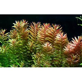 Planta Acuática Facil, Rotala Rotundifolia