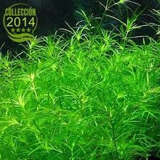 planta acuatica naja guadalupensis