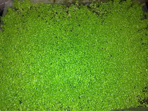 planta acuatica tapizante cuba