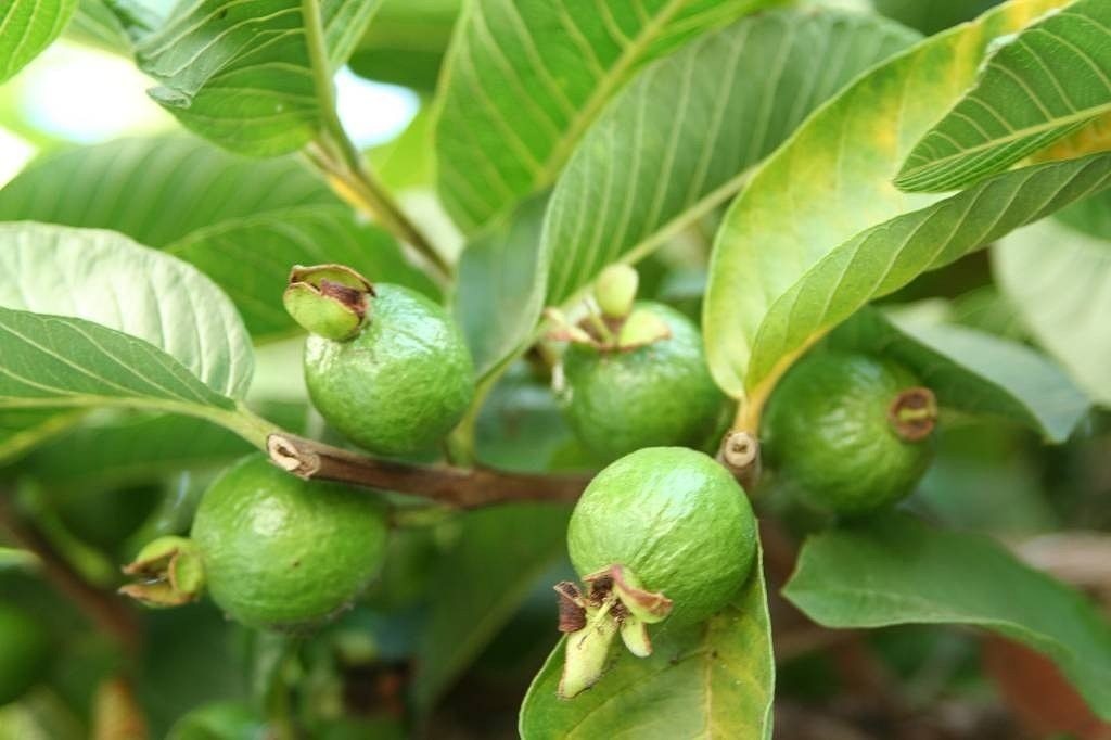 How to Grow a Guava Tree  Home Guides  SF Gate