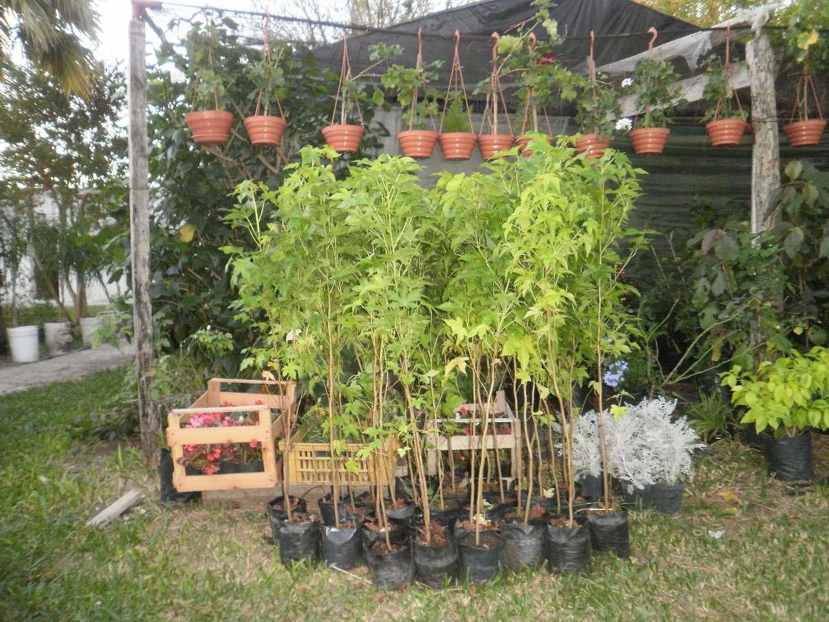 Planta arbol liquidambar vivero 300 00 en mercado libre for Viveros en salto