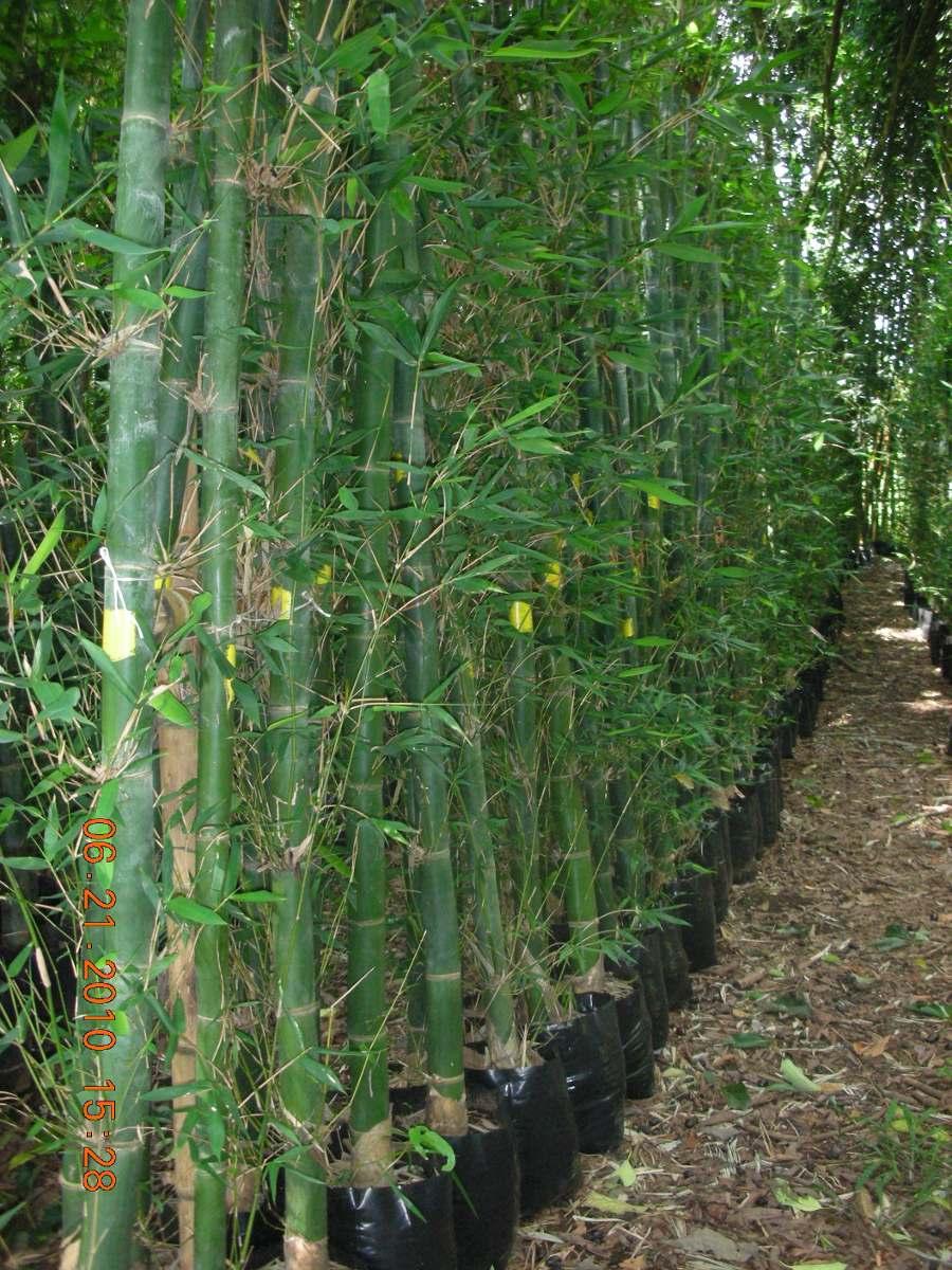 planta bambu oldhamii en mercado libre On bambu planta exterior