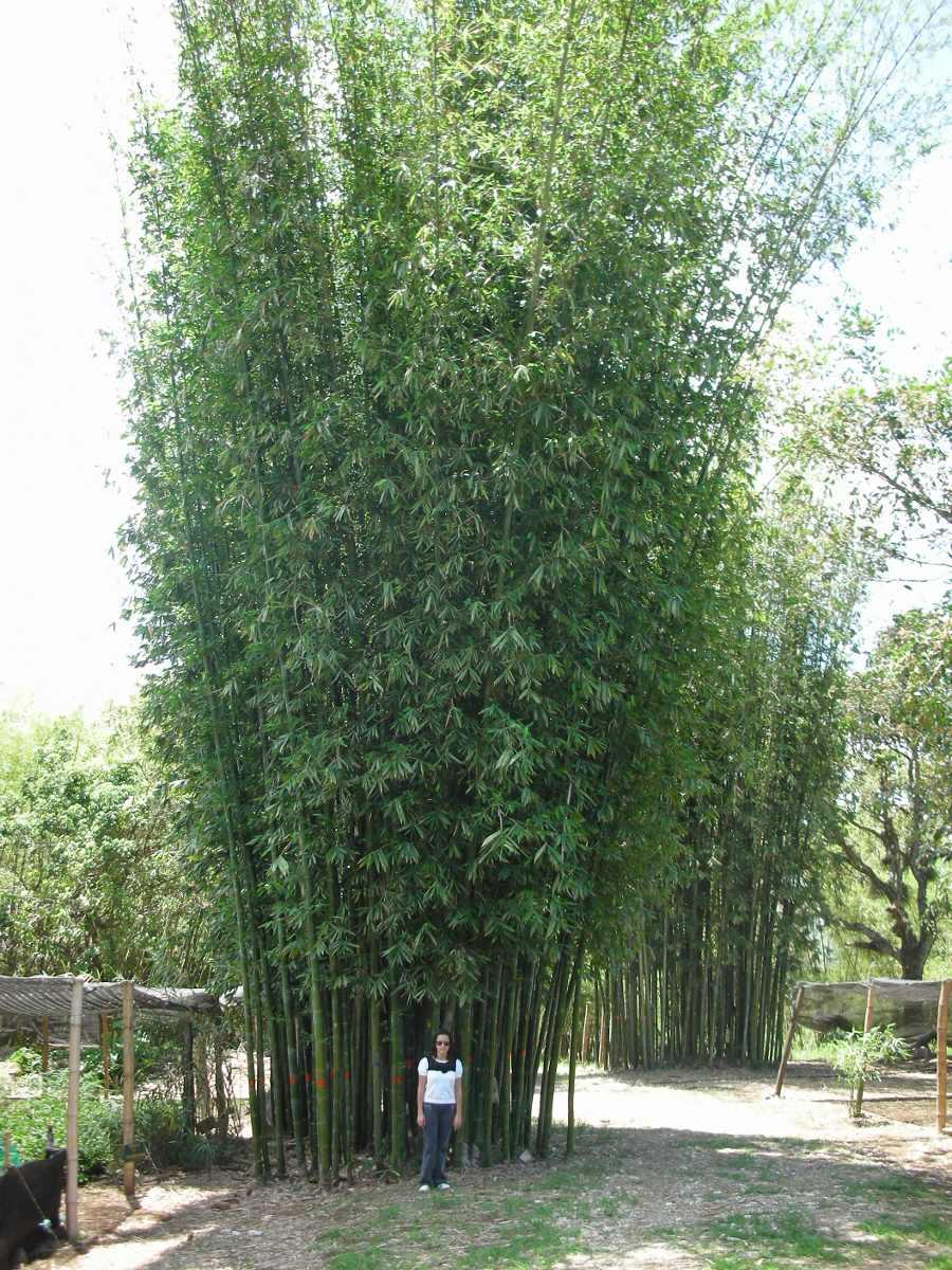 Planta bambu oldhamii rizoma mayor en mercado libre for 10 plantas de ornato