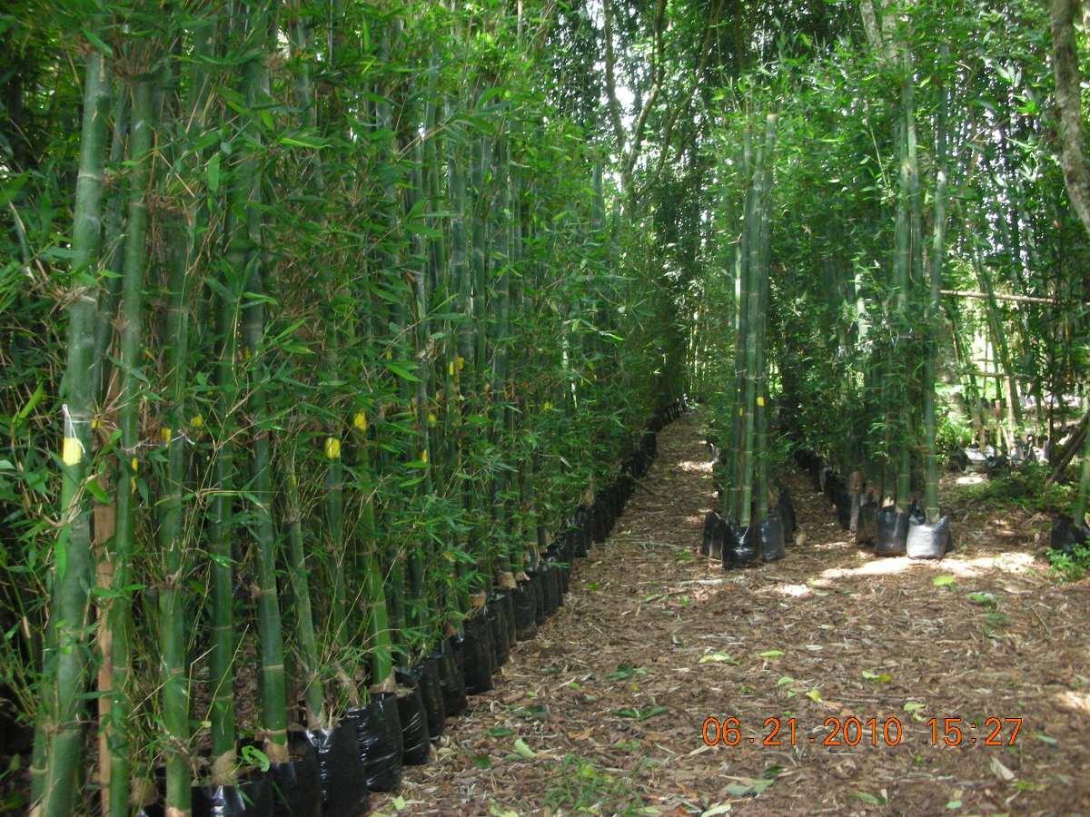Planta bambu oldhamii rizoma mayor en mercado libre - Bambu cuidados en maceta ...