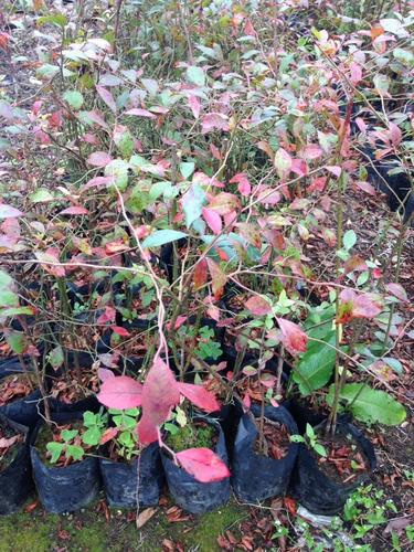 planta blueberry  (2 a 3 rizomas)