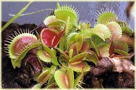 planta carnívora muda dionaea venus papa mosca flores jardim
