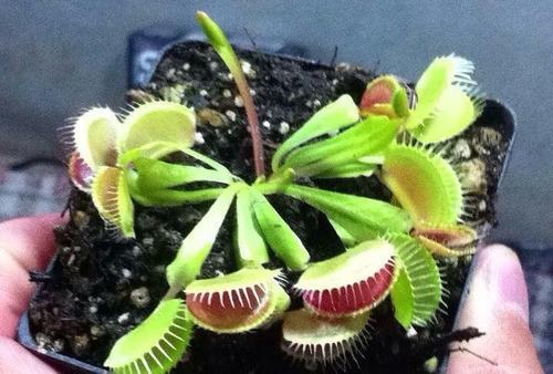 planta carnívora venus atrapamoscas killer plants 3''