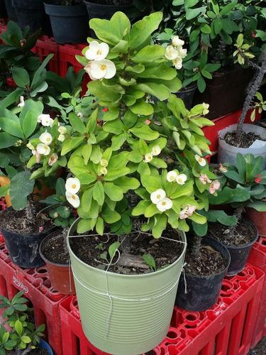 planta corona de cristo blanca