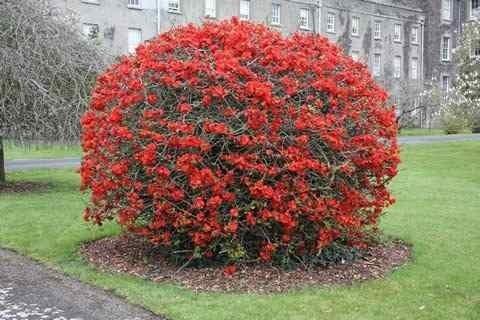 Planta cotoneaster ideal cerco vivos bonsai o arbusto for Arboles para jardin japones