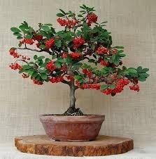 planta cotoneaster ideal cerco vivos bonsai o arbusto