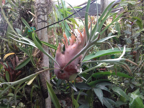 planta cuerno de alce (platycerium)