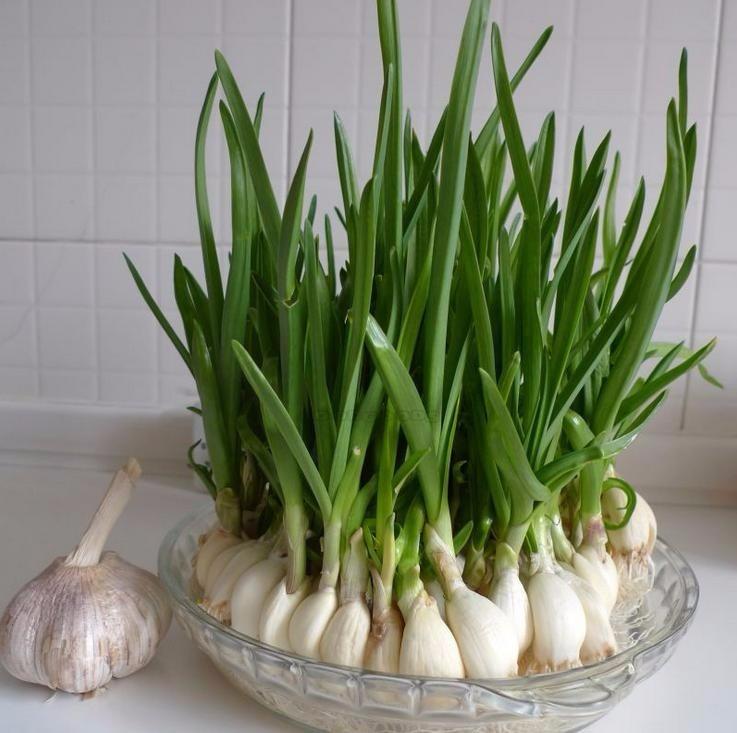 Afbeeldingsresultaat voor plantas de ajos