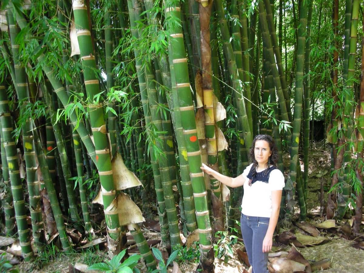 Planta de bambu guadua angustifolia en mercado libre - Bambu planta exterior ...