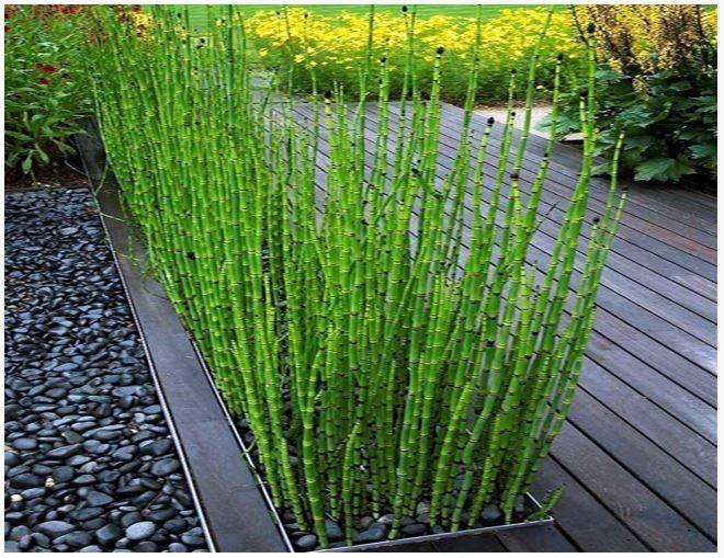 planta de cola de caballo ornato jardin maceta