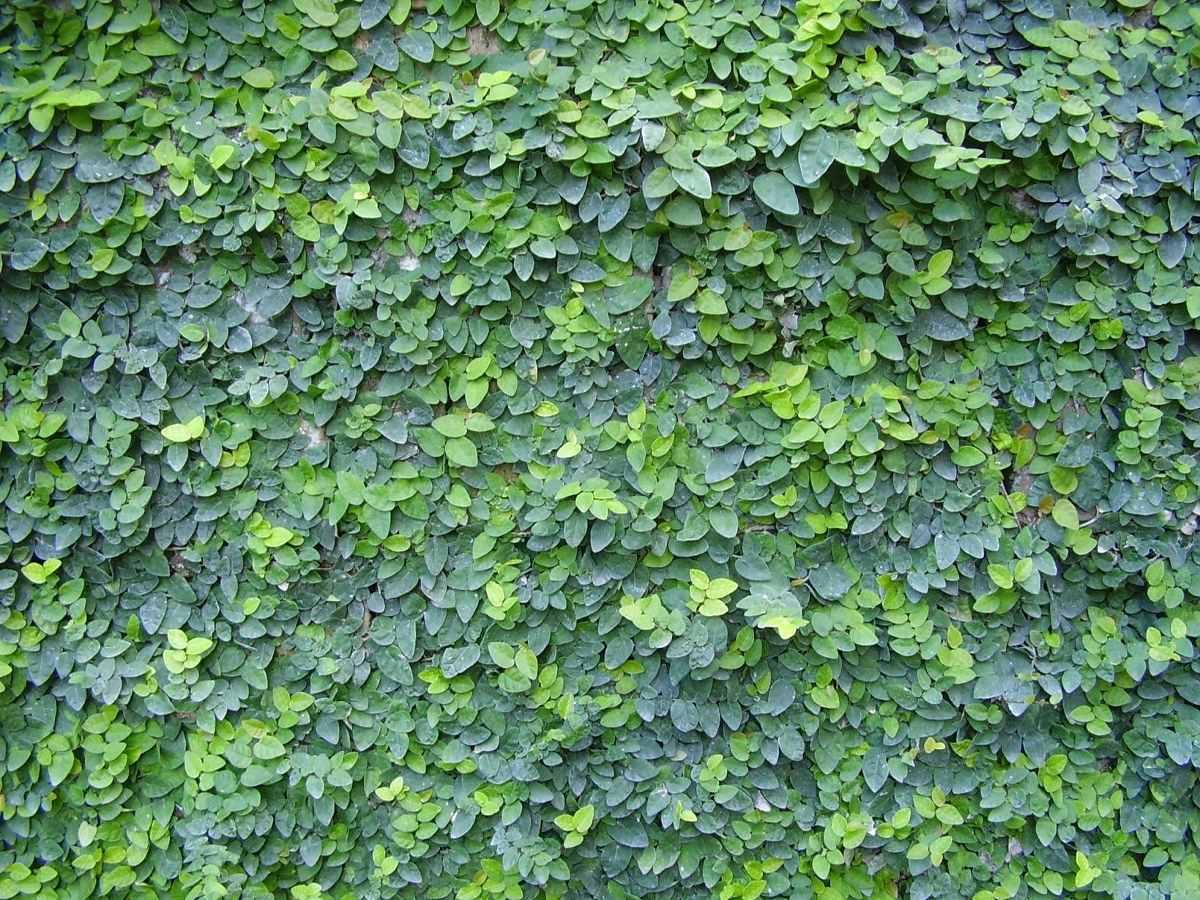 Enamorada del muro enredadera fotos
