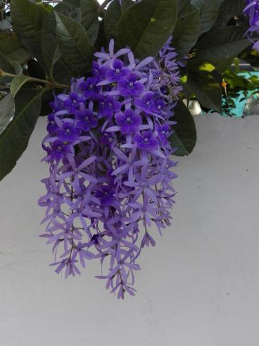 planta de estrella, pétrea v, exótica, rara, unica, lila