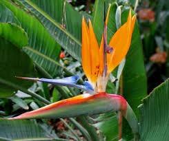 Planta de flor del pajaro o ave del paraiso en for Vendo plantas ornamentales
