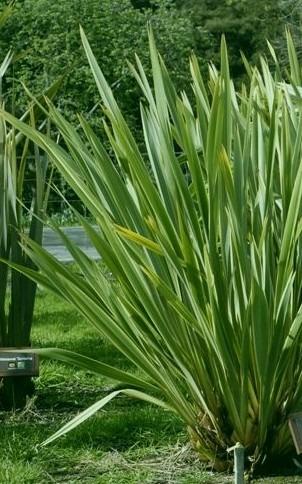 Planta de formio para jard n cerco o maceta para parque for Plantas ornamentales para parques