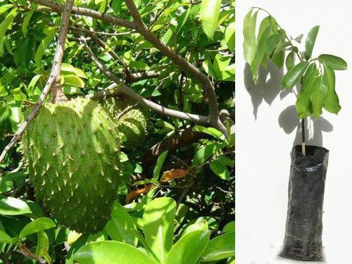Planta de guanabana annona muricata cultivo ecuador u s for Plantas ornamentales del ecuador