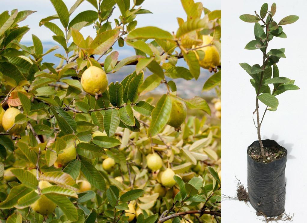 planta de guayaba cultivo sierra arboles frutales ecuador