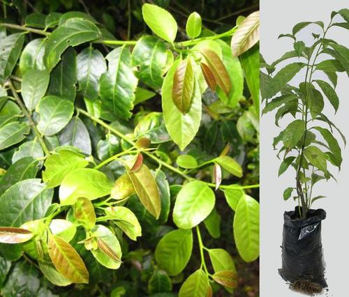 planta de guayusa las plantas medicinales ilex venta ecuador