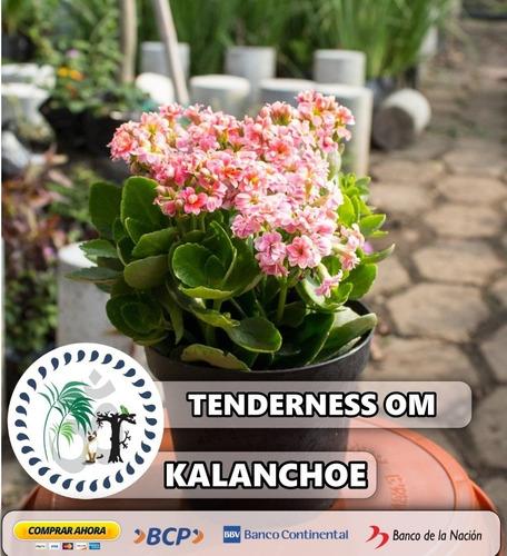 planta de kalanchoe