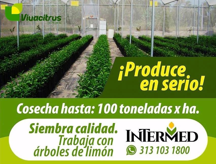 Planta de limon persa en mercado libre for Viveros en colima