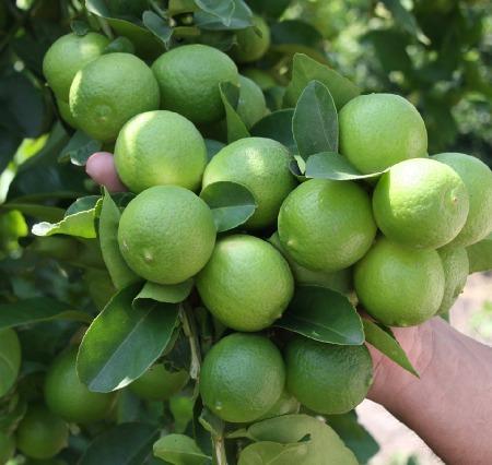 Planta de lim n persa en mercado libre for Limonero sin limones