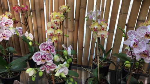 planta de orquídea phaleanopsis de la mejor calidad